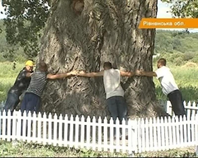 В Україні росте найстаріша і найбільша у Європі тополя