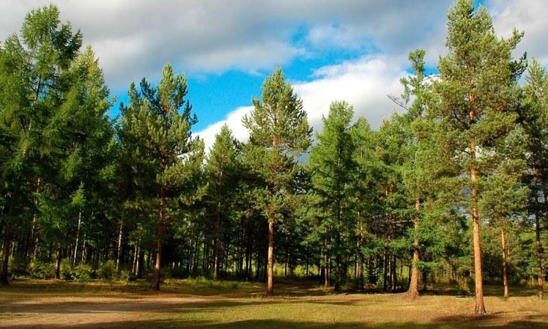 Найбільший штучний ліс світу висаджений в Україні