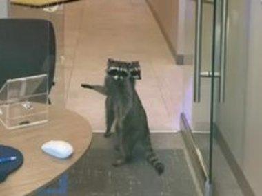 Пара єнотів вдерлася до зачиненого банку у Каліфорнії