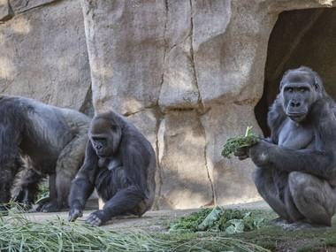 У зоопарку Сан-Дієго вакцинували п'ять горил