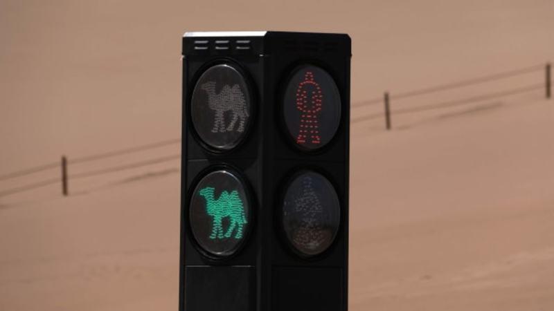 У Китаї встановили перший в світі світлофор для верблюдів