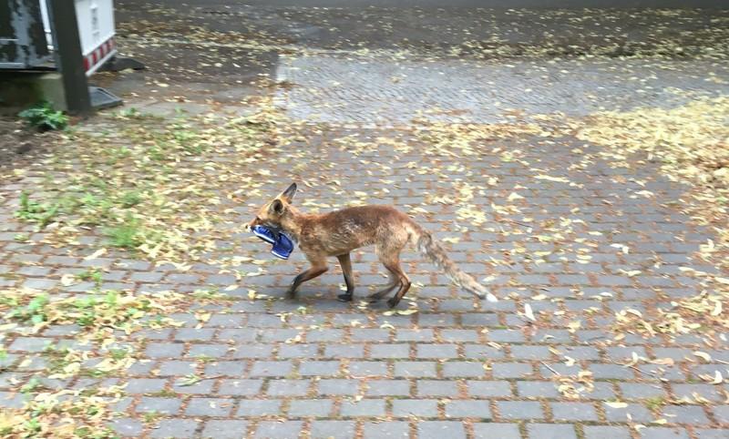 У Берліні на крадіжці взуття упіймали лисицю