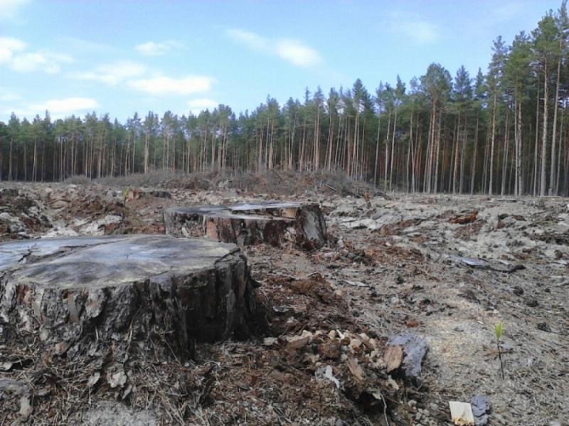 Ліс у Чорнобилі підпалили, щоб приховати вирубку, – журналістське розслідування