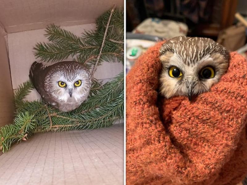 У Нью-Йорку врятували сову, привезену у гілках різдвяної ялинки