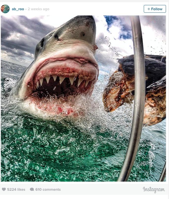 Фото білої акули дістало неймовірної он-лайн популярності