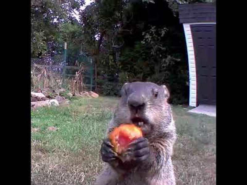 Чоловік установив камеру і дізнався, що його овочі краде бабак. Відео
